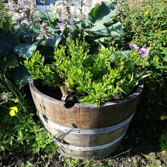 Oak Wine Barrel Planters with Tulips Planted