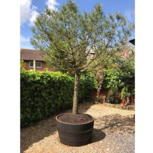 Whiskey barrel Planter with Pine tree in garden
